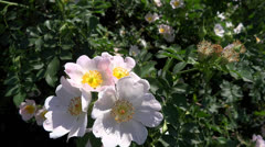 Wild rose part 1 Stock Footage