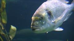 Salmon Bass Stock Footage