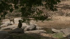 Savanna Baboons at water in Niassa Reserve, Mozambique. Stock Footage