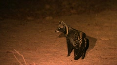 African civet cat walking at night. Niassa Reserve, Mozambique. Stock Footage