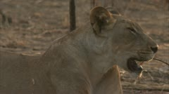 African lioness resting in Niassa Reserve, Mozambique. Stock Footage