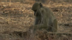 Young Savanna Baboon eating ants. Niassa Reserve, Mozambique. - stock footage