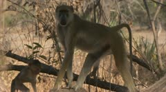 Adult Savanna Baboon with infants. Niassa Reserve, Mozambique. - stock footage