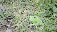 Small green frog jumping out of shot reup Stock Footage