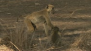 Stock Video Footage of Savanna Baboons reacting and hiding in Niassa Reserve, Mozambique.