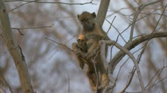 Young Savanna Baboon in tree, eating. Niassa Reserve, Mozambique. Stock Footage
