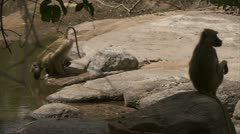 Adult Savanna Baboons at water. Niassa Reserve, Mozambique. Stock Footage