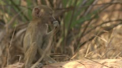 Infant Savanna Baboon sitting and nibbling. Niassa Reserve, Mozambique. - stock footage