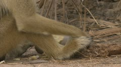 Adult Savanna Baboon sitting and eating fruit in Niassa Reserve, Mozambique. Stock Footage