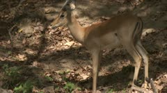 Antelope standing in Niassa Reserve, Mozambique. Stock Footage