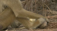 Adult Savanna Baboon eating fruit. Niassa Reserve, Mozambique. Stock Footage
