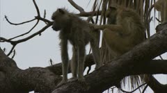 Savanna Baboons in tree, grooming. Niassa Reserve, Mozambique. Stock Footage