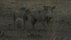 Warthogs standing in Niassa Reserve, Mozambique. Stock Footage