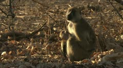 Female adult Savanna Baboon sitting with infant. Niassa Reserve, Mozambique. Stock Footage