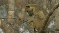 Savanna Baboon in tree, resting. Niassa Reserve, Mozambique. Stock Footage