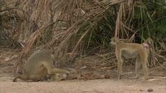 Adult Savanna Baboon sitting and eating in Niassa Reserve, Mozambique. Stock Footage