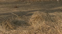 Infant Savanna Baboons between dry grass. Niassa Reserve, Mozambique. Stock Footage