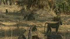 Savanna Baboons in Niassa Reserve, Mozambique. Stock Footage