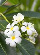 Lan thom flower Stock Photos