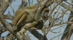 Savanna Baboon in tree, resting and yawning. Niassa Reserve, Mozambique. - stock footage