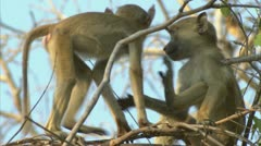 Infant Savanna Baboons playing in tree in Niassa Reserve, Mozambique. - stock footage