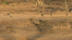 Savanna Baboons and Guinea fowls walking in Niassa Reserve, Mozambique. Stock Footage