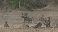 Savanna Baboons playing / fighting in Niassa Reserve, Mozambique. Stock Footage