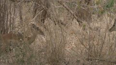 Antelope herd standing in Niassa Reserve, Mozambique. Stock Footage