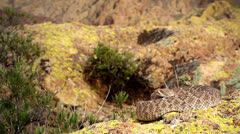 Diamondback Rattlesnake rattles, extends tongue, & takes on defensive posturing. - stock footage