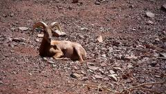Desert Bighorn Sheep rests on a mountain in Arizona, USA. Stock Footage