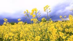 Oilseed rape field - stock footage
