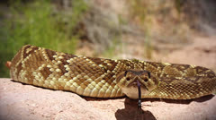 Black-tailed Rattlesnake (Crotalus molossus) flicking its tongue in Arizona Stock Footage