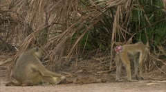 Adult Savanna Baboons eating. Niassa Reserve, Mozambique. Stock Footage