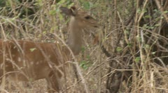 Antelope standing and staring. Niassa Reserve, Mozambique. - stock footage
