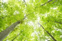 beech forest - stock photo