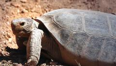 A Bolson Tortoise (Gopherus flavomarginatus) yawning in Arizona, USA. Stock Footage