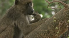 Female Savanna Baboon in tree, eating fruit. Niassa Reserve, Mozambique. Stock Footage