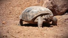 A Bolson Tortoise (Gopherus flavomarginatus) walking in Arizona, USA. Stock Footage