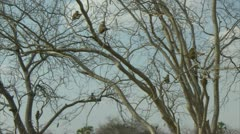 Savanna Baboons sitting in tree. Niassa Reserve, Mozambique. Stock Footage
