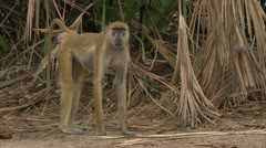 Savanna Baboons eating. Niassa Reserve, Mozambique. Stock Footage