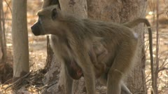 Female adult Savanna Baboon protecting her infant. Niassa Reserve, Mozambique. - stock footage