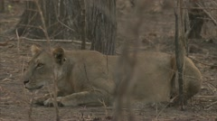 African lioness in Niassa Reserve, Mozambique. Stock Footage