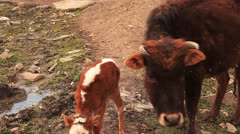 Cow attack photographer. Stock Footage