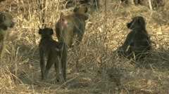 Young Savanna Baboons watching the unseen. Niassa Reserve, Mozambique. Stock Footage