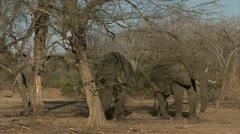 Savanna Elephants in Niassa Reserve, Mozambique. Stock Footage