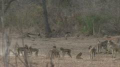 Savanna Baboon troop in Niassa Reserve, Mozambique. Stock Footage