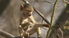 Infant male Savanna Baboon in tree. Niassa Reserve, Mozambique. Stock Footage