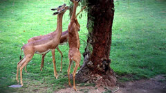 Gerenuk feeding on leaves. A long-necked species of antelope found in Africa. Stock Footage