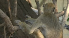 Savanna Baboon in tree next to water. Niassa Reserve, Mozambique. Stock Footage