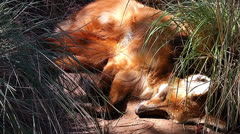 A threatened Maned Wolf sleeps away the day in long grass. - stock footage